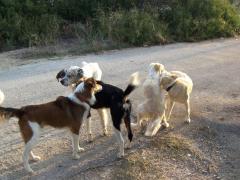 προσπάθειες περισυλλογής αδέσποτων σκύλων