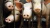 Ανακοίνωση από το Τμήμα Κτηνιατρικής της Δ/νσης Αγροτικής Οικονομίας και Κτηνιατρικής της Π.Ε Ημαθίας για την Αφρικανική Πανώλη των Χοίρων