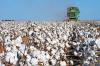Π.Ε Ημαθίας: Δελτίο γεωργικών προειδοποιήσεων ολοκληρωμένης φυτοπροστασίας στην βαμβακοκαλλιέργεια της Ημαθίας