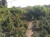 Φυτεία με πάνω από 1.100 δενδρύλλια κάνναβης εντοπίστηκε σε αγροτική περιοχή της Θεσσαλονίκης